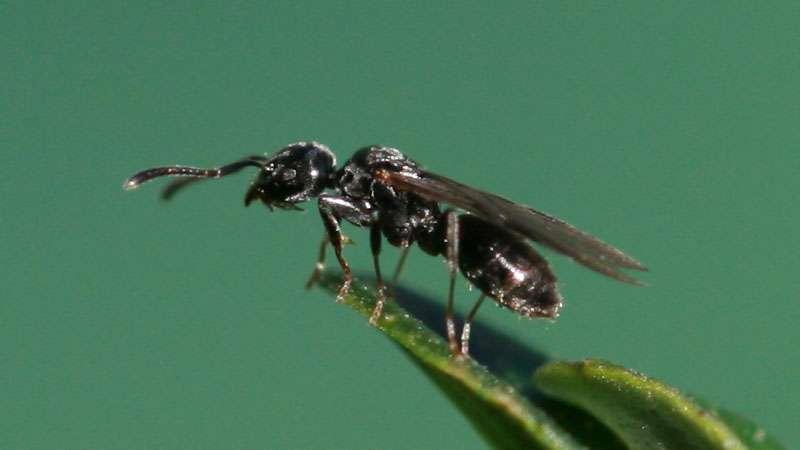 flying ant vs termite