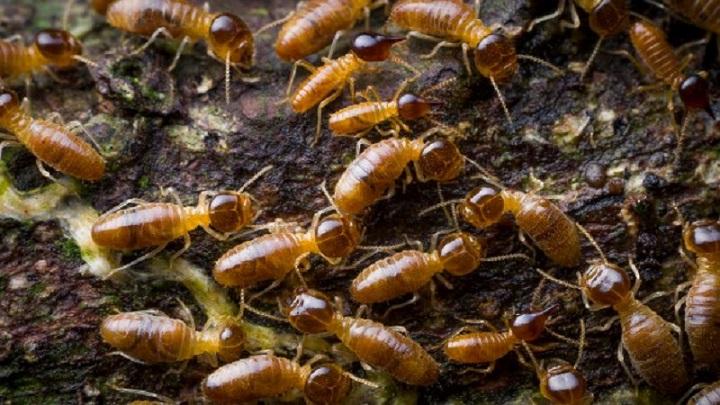 Termite survive