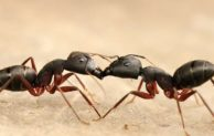 Do black ants kill termites?