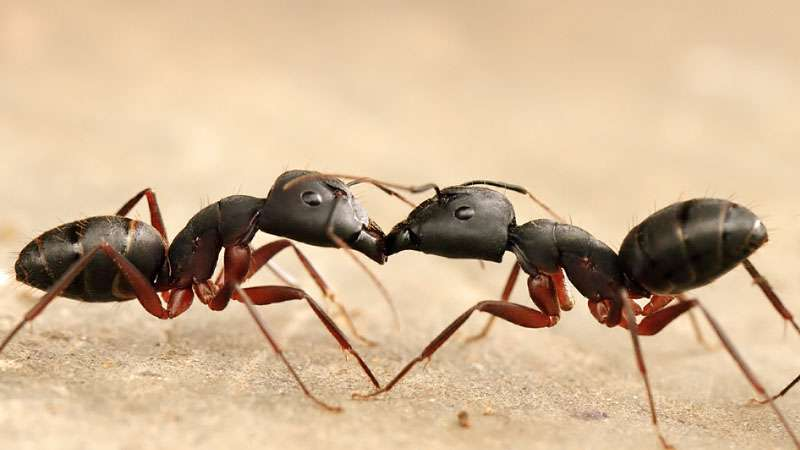 do black ants kill termites