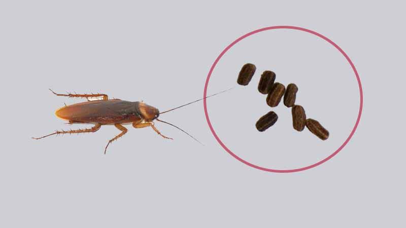 What Do Cockroach Poop Look Like Termites Blog