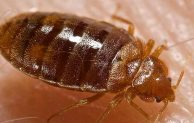 Baby Cockroaches Vs Bed Bugs Vs Carpet Beetle