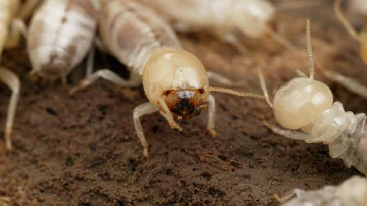 Do Termites Have Eyes And How Do They Use The Senses