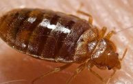 What do bed bug bite look like and how to treatment