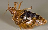 Bed Bug DIY Treatments Tips