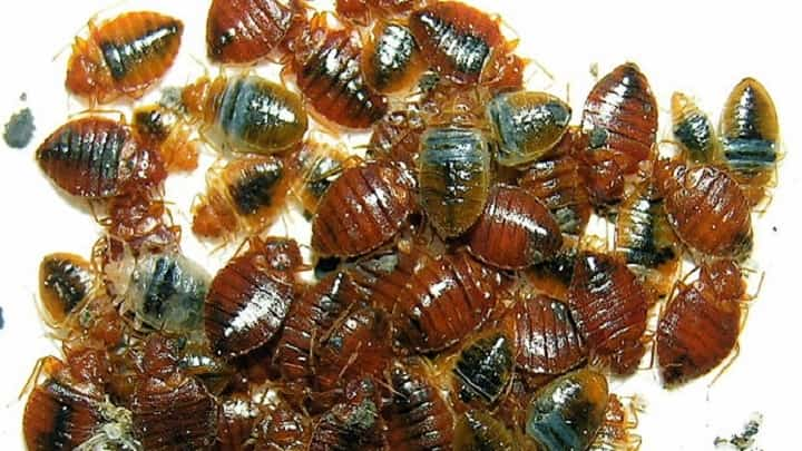 Types Of Bed Bugs Seroton Ponderresearch Co