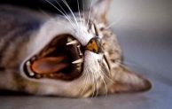 Top 5 Best Cat Breeds for Catching Mice