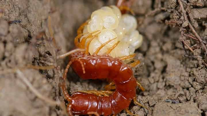 The Centipede Life Cycle Stages Termites Blog