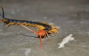 Do centipedes bite humans? How harmful is the centipede venom?