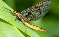 Mayflies and Mosquitoes Predators