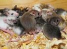 Best Ways To Clean Up After Mice Infestation