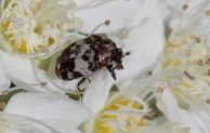 4 Common Causes of Carpet Beetle Infestation in Your House