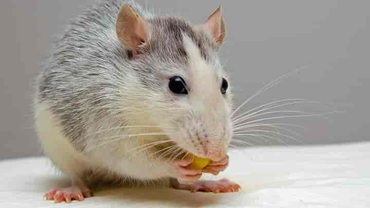 Tips to Identify and Get Rid of Mice Inside the Walls Termites Blog