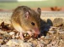 What Diseases Do Mice Carry? Let See 5 Diseases Caused by Mice