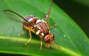 Are Fruit Flies Harmful If Eaten? See the Shocking Answer!