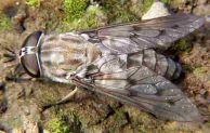 Are Horse Flies Attracted to Water? Facts About Horse Flies
