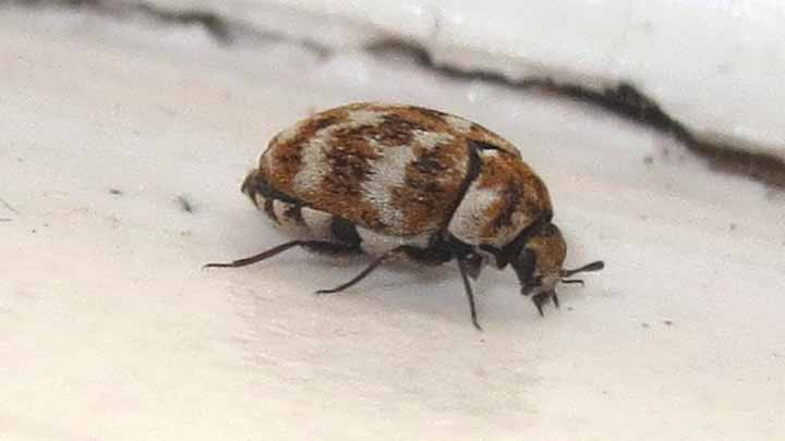 Top 11 Causes Of Carpet Beetles Infestation In Your Home