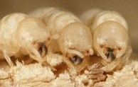 Subterranean Termites vs Drywood Termites
