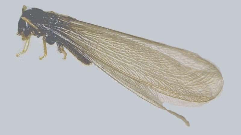 Swarmer Termites Treatment Termites Blog