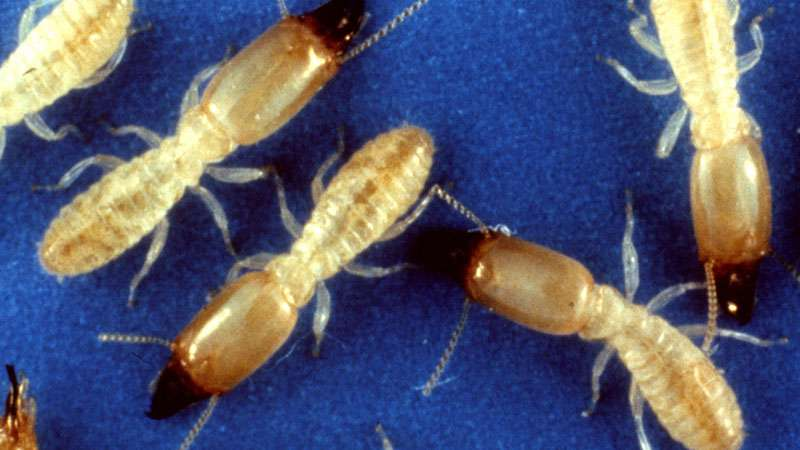 best chemical for termites