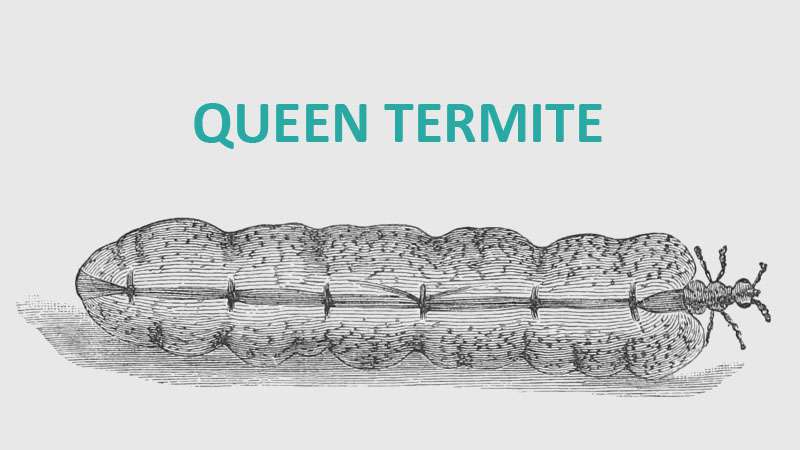 queen termite anatomy