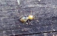 Pictures of Termites & Damage