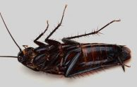 Do Cockroaches Have Wings, Blood and Six Legs?