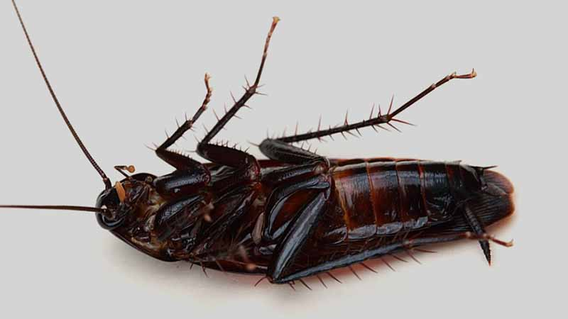 Do Cockroaches Have Wings Blood And Six Legs Termites Blog