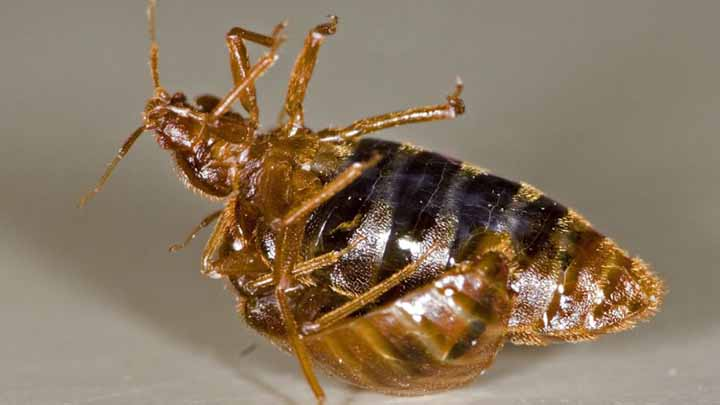 how to get rid of bed bugs on delicate clothes