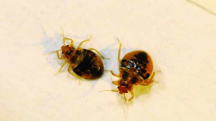 Bed Bug Is One Of Serious Problem You Can Have At Home. Residing In The Bed  Sheet As Well As Mattress, This Tiny Pest Will Give You Skin Problem, ...