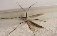 Difference Between Mosquitoes and Crane Flies or Daddy Long Legs