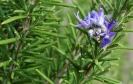 The Benefits of Rosemary Plant to Repel Mosquitoes
