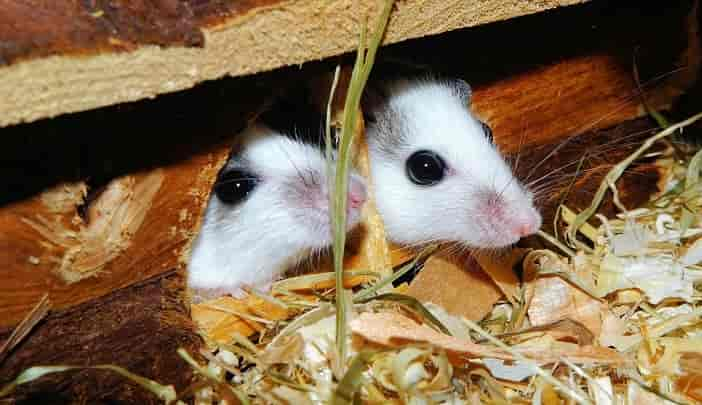 How Long Can Mice Live Without Food And Water Termites Blog