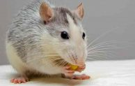 Tips to Identify and Get Rid of Mice Inside the Walls