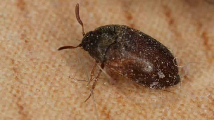 4 Common Types of Carpet Beetles
