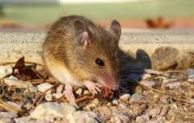 What Diseases Do Mice Carry? Let See 5 Diseases Causedby Mice
