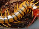 Where do centipedes live? And how to recognize them