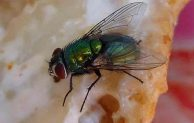 What Do Flies Eat and How is their Feeding Habit?
