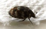 Where do Carpet Beetles Come From?