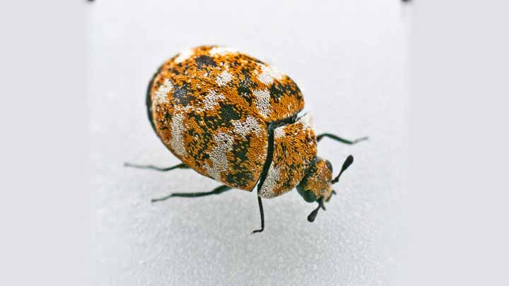 Carpet Beetle Bite Effects Treatments And Prevention