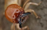 Are Termites Dangerous and Harmful to Humans