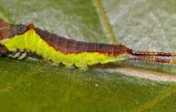 5 Symptoms of Puss Moth Caterpillar Sting and the Best Treatments